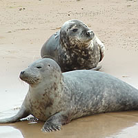 Grey Seals on the sands at Blakeney Point