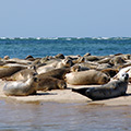 The Seal Colony on Blakeney Point