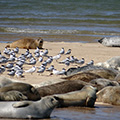 Seals and Terns on Blakeney Point