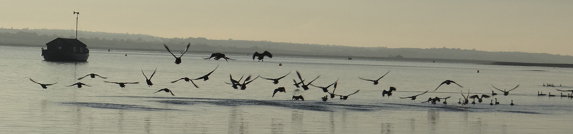 Brent Geese coming into land on the water in Blakeney Pit