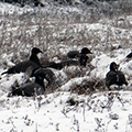 Brent Geese in the snow on Blakeney Point