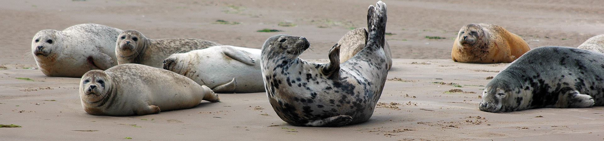 Grey Seals and Common Seals together on the sands at Blakeney Point