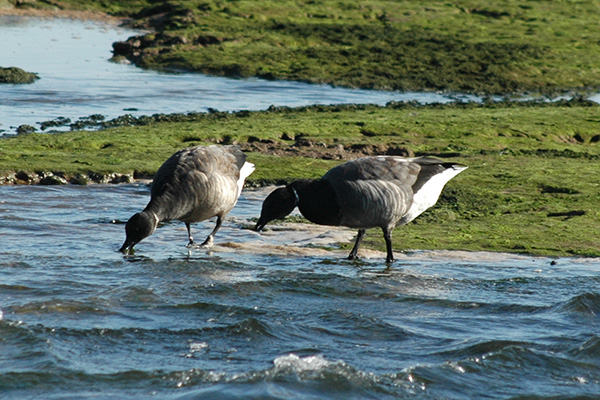 A couple of Brent Geese feeding in the shallows