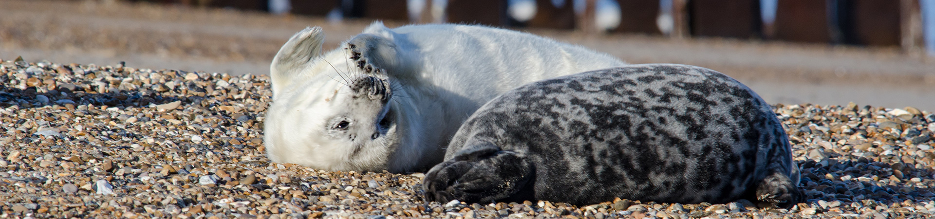 Young seal pups on the beach at Blakeney Point