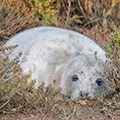 Grey Seal pup at Blakeney Point