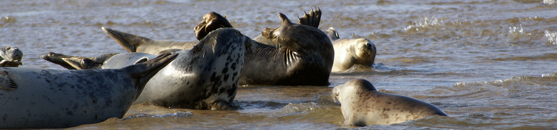Grey Seals waiting for the tide to float them off at Blakeney Point