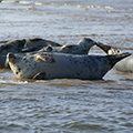 Grey Seals waiting to float off on the incoming tide