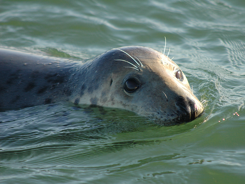 An inquisitive young seal in the water
