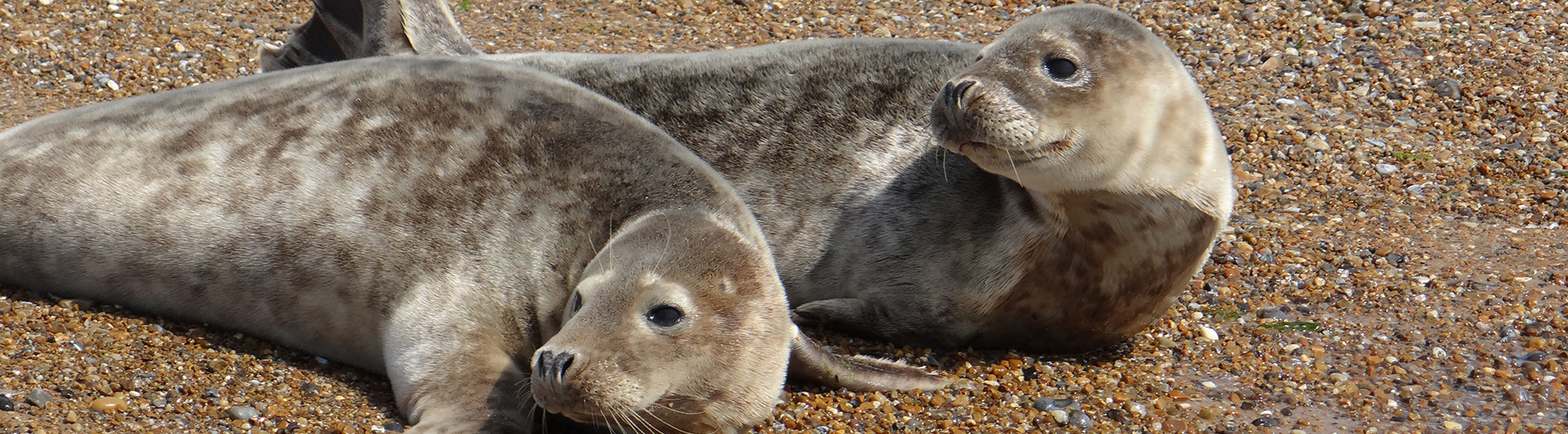 Pair of young seal pups hauled out on the beach