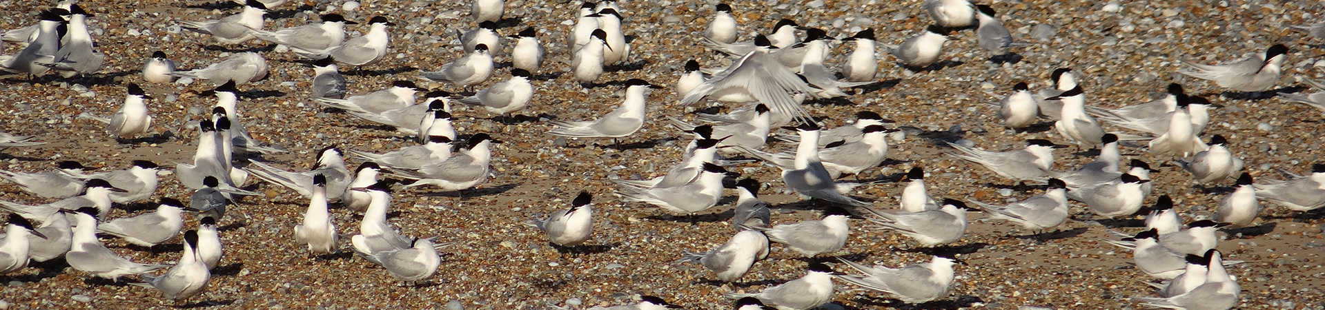 Sandwich Terns on the sand at Blakeney Point