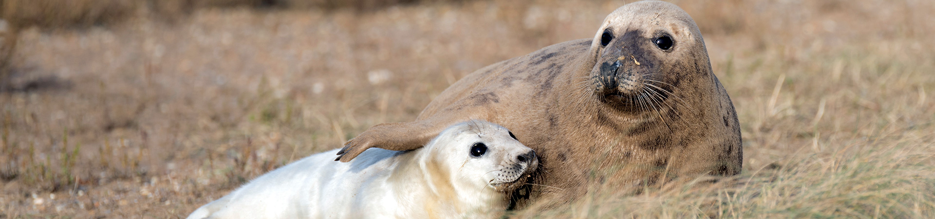 Grey Seal and pup in the dunes at Blakeney Point