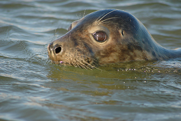 Young Grey Seal head above water