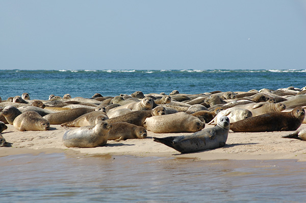 Large group of Common and Grey Seals on Blakeney Point