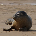 Young Grey Seals on Blakeney sands